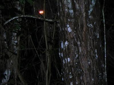 Nocturnal Lemur: Andasibe Madagascar